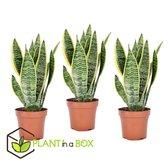 PLANT IN A BOX Sansevieria Laurentii - Vrouwentong - Set van 3 kamerplanten - pot ⌀12 cm - Hoogte ↕ 30 - 40 cm