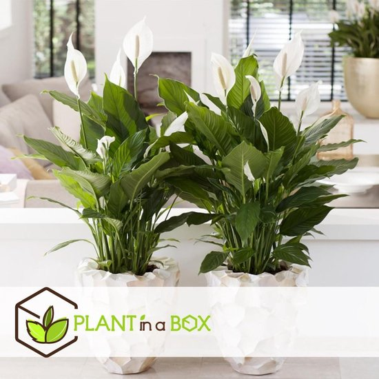 PLANT IN A BOX Spathiphyllum lepelplant - Set van 2 kamerplanten - pot ⌀17 cm - Hoogte ↕ 70 - 80 cm