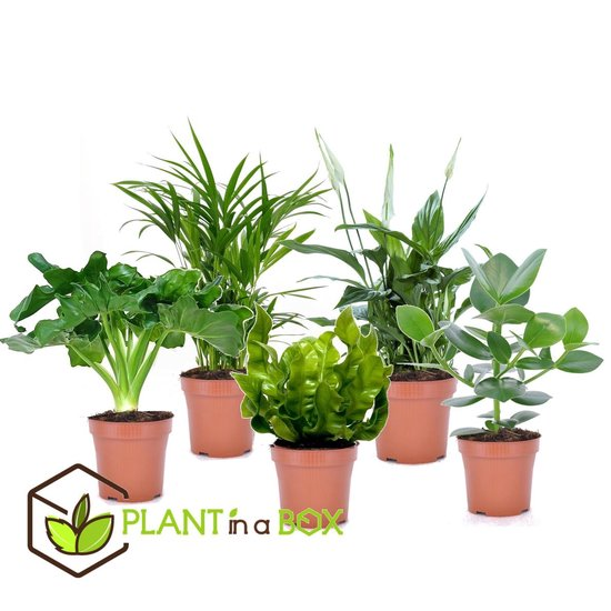 PLANT IN A BOX Luchtzuiverende kamerplanten - Mix van 5 stuks - pot ⌀12 cm - Hoogte ↕ 30 - 40 cm
