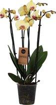 Orchidee | Phalaenopsis 4 tak Geel