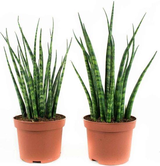 Choice of Green - Sansevieria Fernwood Mikado - Vrouwentong - set van 2 stuks - luchtzuiverende kamerplanten in Kwekerspot ⌀10 cm - Hoogte ↕23 cm