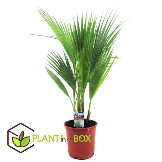 Plant in a Box - Washingtonia Robusta - Mexicaanse Waaierpalm - Pot ⌀21 cm -Hoogte ↕ 90-100cm