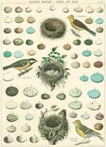 Poster Vogels en Eieren- Cavallini & Co - Vintage Schoolplaat Nest, Eggs & Birds