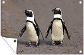 Twee kleine Zwartvoetpinguïns lopen samen Tuinposter 180x120 cm - Tuindoek / Buitencanvas / Schilderijen voor buiten (tuin decoratie) XXL / Groot formaat!