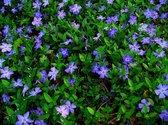 10 x Vinca minor - kleine blauwe maagdenpalm