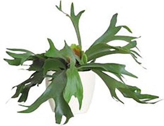 Jonge Hertshoorn plant met 12cm sierover pot. Varen huiskamer kantoor