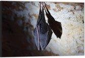 Dibond –Slapende Vleermuis– 60x40 Foto op Aluminium (Met Ophangsysteem)