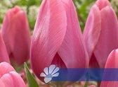 25 Tulpenbollen Big Love - Bloembollen - Flowerbulbs - Tulipbulbs - Bulbs - Tulip - Tulpen - Bollen - Tuin Tulpen -