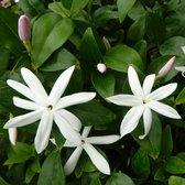 Jasminum multipartitum - Wilde sterjasmijn - hoogte 35cm - pot 20cm - vol met bloemknop + bloem