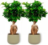 5. 2x Kamerplant Ficus Ginseng - Bonsai Boompje - ± 30cm hoog - 12cm diameter - in groene sierpot