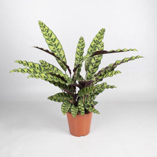 Calathea Lancifolia insignes - groenekamerplant - schaduwplant -potmaat 19 cm - hoogte 75/80 cm - EAN 7434610673645