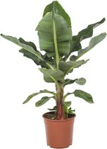 Mooie Bananenplant | Musa Kamerplant | Met fantastisch grote bladeren en mogelijk na 3 jaar je eigen bananen Ø 27 cm – Hoogte 80 cm (waarvan +/- 60 cm plant en 20 cm pot) | Kamerplant