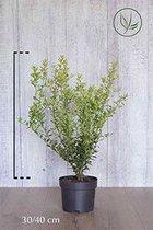 10 stuks | Japanse hulst Green Hedge Pot 30-40 cm Extra kwaliteit | Standplaats: Halfschaduw/Schaduw/Volle zon | Latijnse naam: Ilex crenata Green Hedge