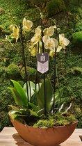 Lek Bloemenservice Planten Orchidee  Phalaenopsis   Geel