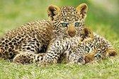 Jachtluipaarden poster cheeta puppies savanne Afrika 61 x 91.5 cm.