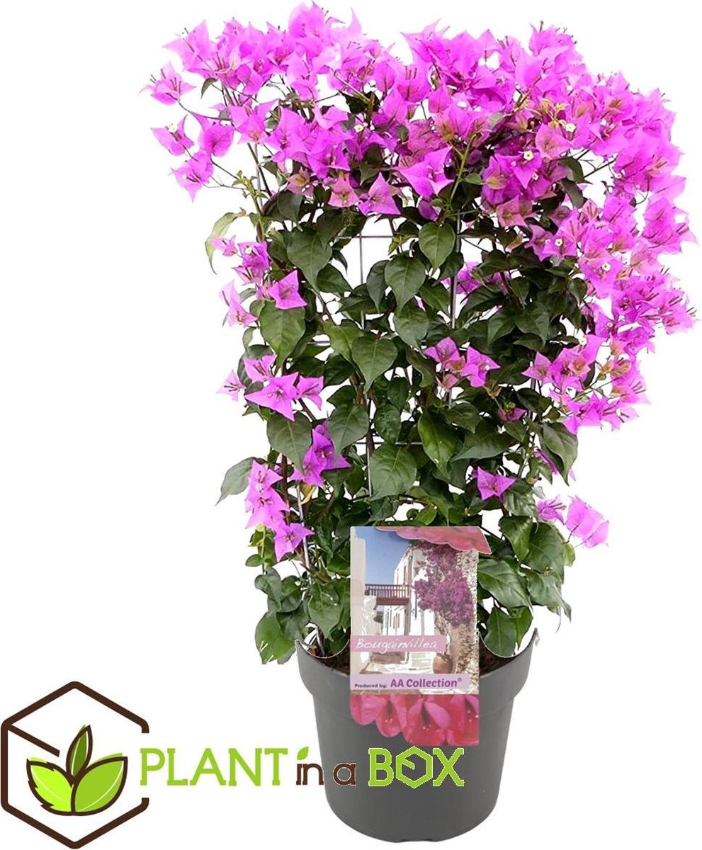 Plant in a Box - Bougainvillea op rek - Pot  17 cm -Hoogte   50-60cm
