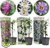 Plant in a Box - Passiflora Mix - Mix van 3 passiebloemen - Pot ⌀9 cm - Hoogte ↕ 20 - 30cm