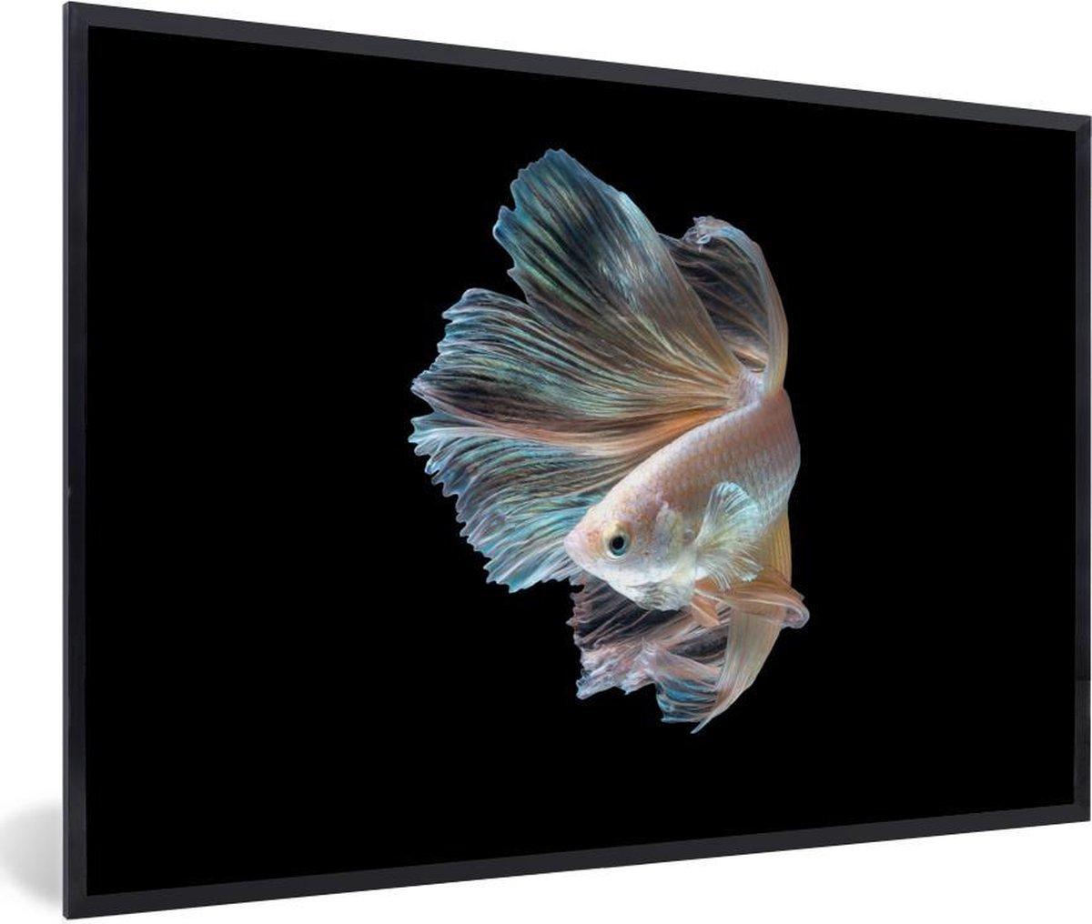 Foto in lijst - Portret van een Siamese kempvis op een zwarte achtergrond fotolijst zwart zonder passe partout 60x40 cm - Poster in lijst (Wanddecoratie woonkamer / slaapkamer)