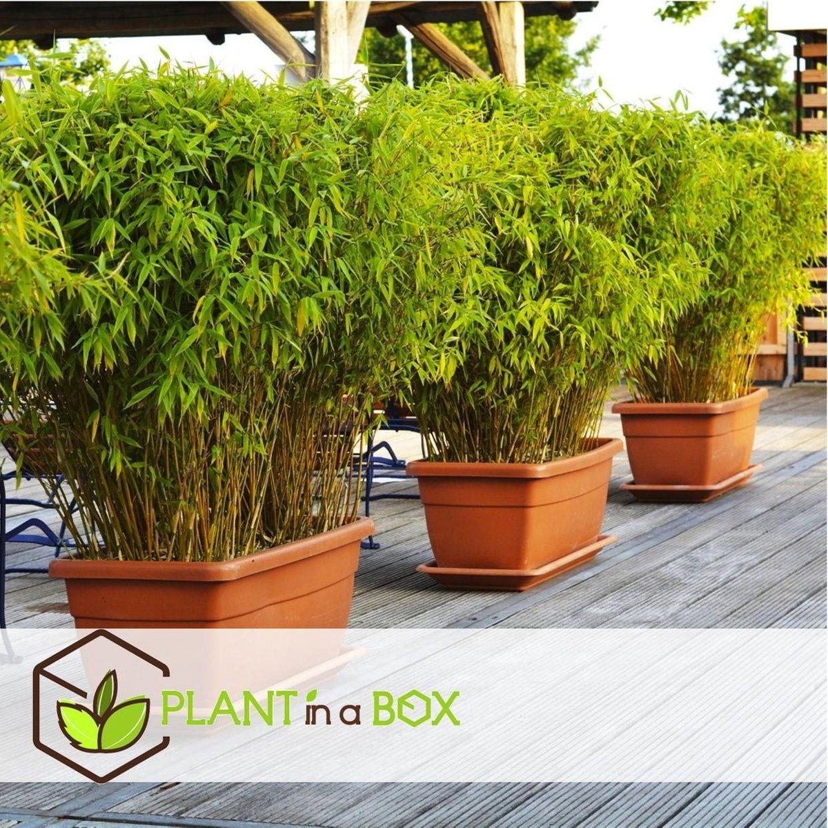 Plant in a Box   Set van 3 Fargesia Rufa   Niet woekerende bamboe - Hoogte   25-40cm - Pot   13cm