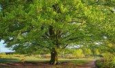 Fotobehang Beukenboom in het voorjaar 350 x 260 cm