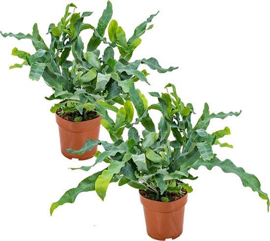 Blauwvaren | Phlebodium per 2 stuks - Luchtzuiverende kamerplant in kwekerspot ⌀12 cm - ↕30 cm
