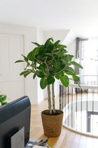 Ficus Benghalensis Audrey in mand - speciale cadeauverpakking