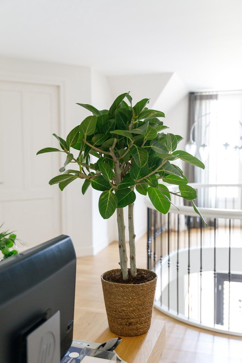 Ficus Benghalensis Audrey in mand - kamerplant in speciale cadeauverpakking