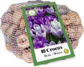 Jub Holland - XXL Crocus (Krokus) bloembollen - Blauw & Wit Grootbloemig - 80 stuks