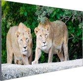 Twee leeuwinnen Aluminium 120x80 cm - Foto print op Aluminium (metaal wanddecoratie)