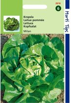 Kropsla Milan -  Lactuca sativa - set van 4 stuks