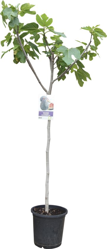 Vijgenboom, ficus carica, donkere vijg, 170cm