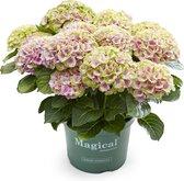 Hortensia Magical Jewel tuinhortensia roze - 5 liter pot