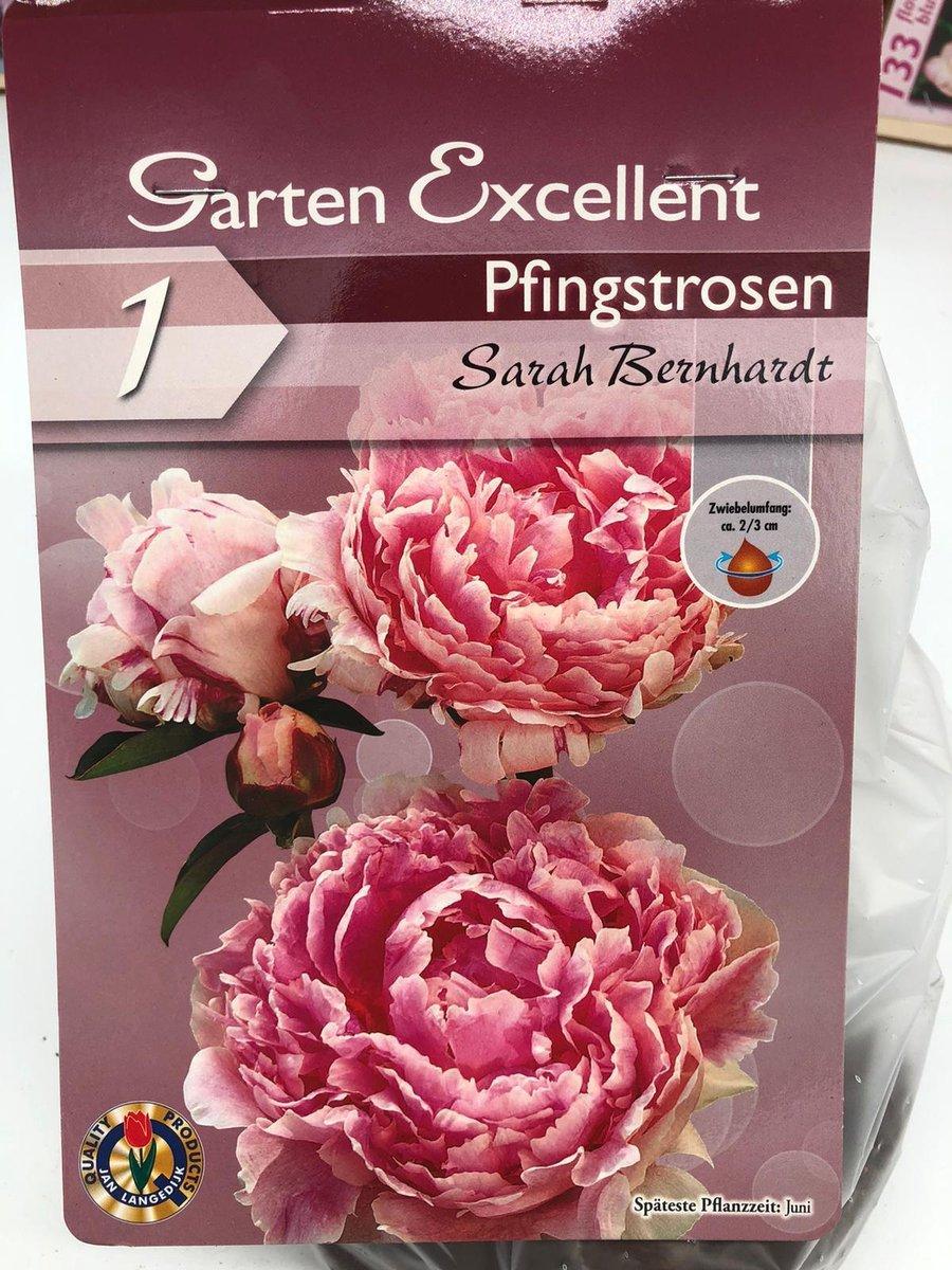 1 X PIOENROOS SARAH BERNHARDT (licht roze)
