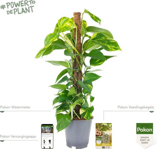 Pokon® Scindapsus Epipremnum incl. watermeter en voeding - hoogte ↕80cm