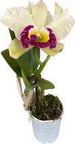 Cattleya Blc. Pathum Green - Orchidee