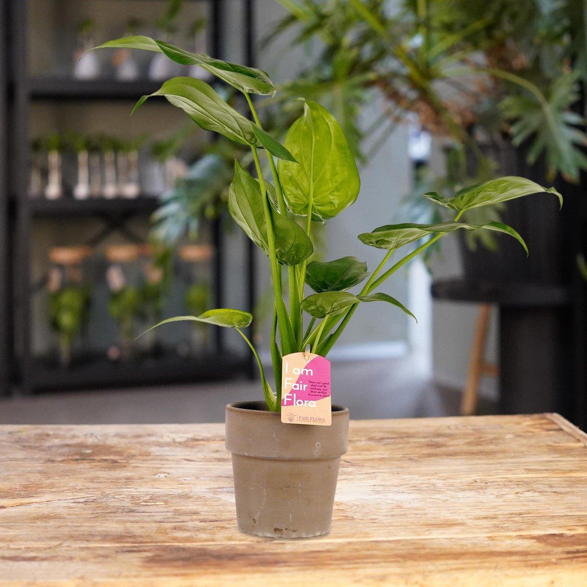 Duurzaam geproduceerde Kamerplant van FAIR FLORA® - 1 x Olifantsoor in de grijze keramische pot - Hoogte: ca. 40 cm - Latijnse naam: Alocasia Cucullata
