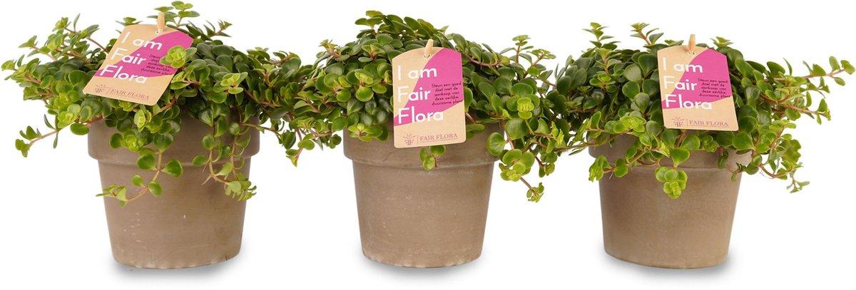 Duurzaam geproduceerde Kamerplant van FAIR FLORA® - 3 x Vetkruid in de grijze keramische pot - Hoogte: ca. 12 cm - Latijnse naam: Sedum Makinoi