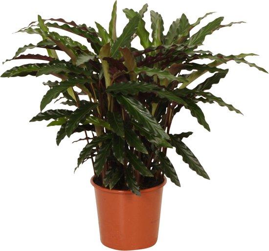 Calathea 'Rufibarba Elger Grass' - Luchtzuiverende Calathea - ↑ 60-70cm - Ø 17cm