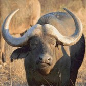 MyHobby Borduurpakket – Buffel 50×50 cm - Aida stof 5,5 kruisjes/cm (14 count)