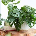 Find the perfect Monstera for you on Bol.com