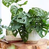 Monstera 'Monkey Leaf' - Gatenplant - ↑ 20-30cm - Ø 12cm