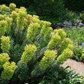 6 x Euphorbia Characia Wulfenii - Wolfsmelk pot 9x9cm