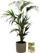 Pokon® Kentia Palm incl. watermeter en voeding - in Mica Era Pot Groen - hoogte ↕90 cm