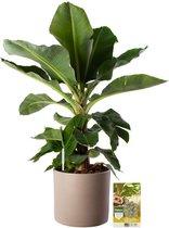 Pokon® Bananenplant incl. watermeter en voeding - in Mica Era Pot Licht Grijs - hoogte ↕80cm