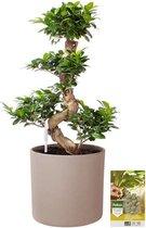Pokon® Ficus Bonsai / Chinese Vijg incl. watermeter en voeding - in Mica Era Pot Licht Grijs - hoogte ↕70 cm