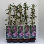 Passiflora caerulea Lavender Lady; Totale hoogte 60-80cm incl. 2 Liter pot   Passiebloem   Kleur: Lavendel