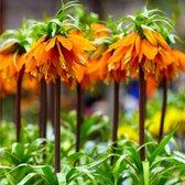 2x Fritillaria imperialis 'Orange Beauty' - Keizerskroon - Oranje - Winterhard - 2 bloembollen Ø 20-22 cm