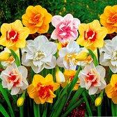 25x Narcissus - Narcissen mix - Wit Oranje Geel - Vroegbloeiers - 25 bloembollen
