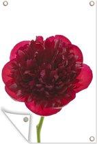 Close-up van een rode pioenroos Tuinposter 60x90 cm - Tuindoek / Buitencanvas / Schilderijen voor buiten (tuin decoratie)