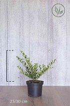 10 stuks | Japanse hulst Green Hedge Pot 25-30 cm Extra kwaliteit | Standplaats: Volle zon/Halfschaduw/Schaduw | Latijnse naam: Ilex crenata Green Hedge